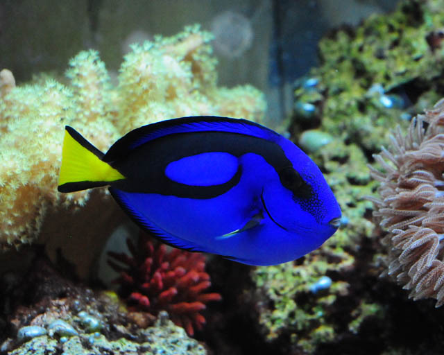 Finding Nemo Dory Fish TypeWhat Type Of Fish Is Dory